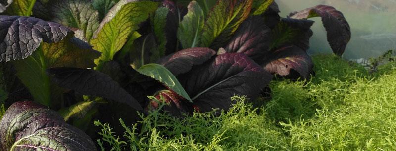 Organic-salad---Perennial-Nursery---St-Davids