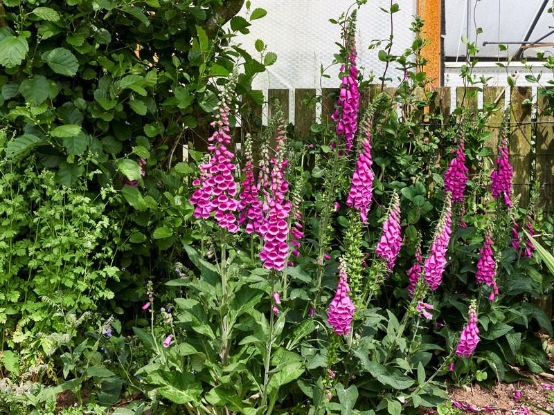 Perennial Nursery-foxgloves - St Davids