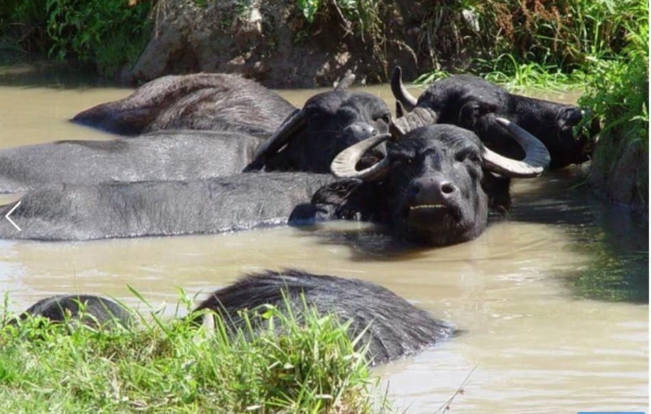 Oak tree cottage - Water buffalo - Cilgerran - FBM Holidays